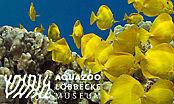 Gelbe Segelflossendoktorfische
